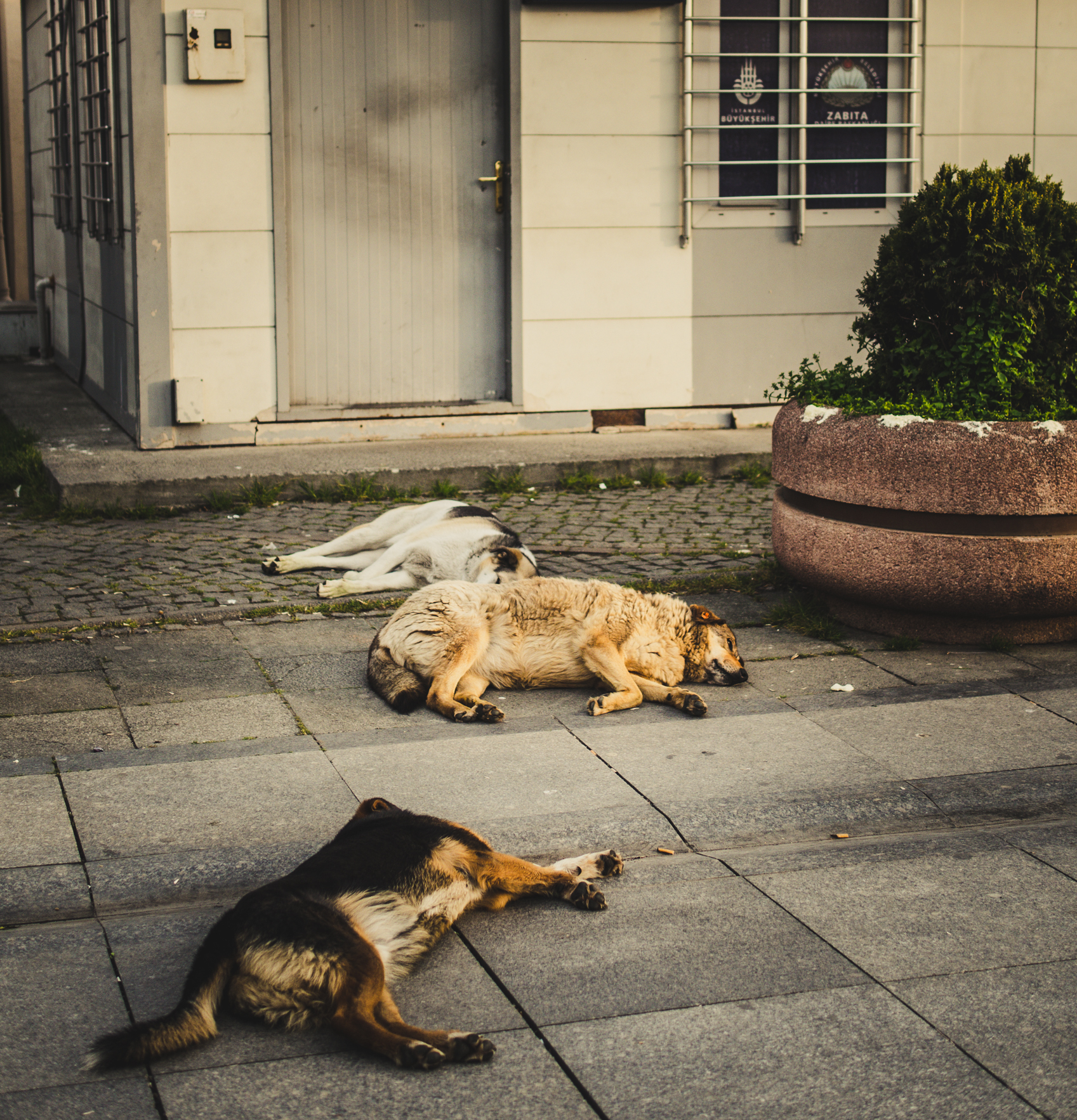Tagsüber eher komatös: Wilde Hunde in Istanbul.